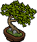 Japanese Boxthorn Bonsai.png
